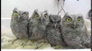 4 Baby Owls Being Very Cute