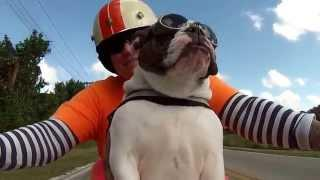 This English Bulldog Is Waving At Other Biker