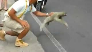 Sloth Crossing the Street - I Believe I Can Fly