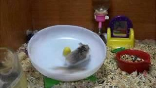 Crazy hamsters running