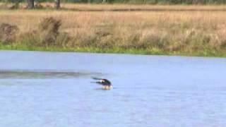 Swimming eagle