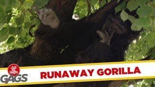 Runaway Gorilla - hidden camera prank