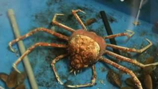 Giant spider crab sheds its shell