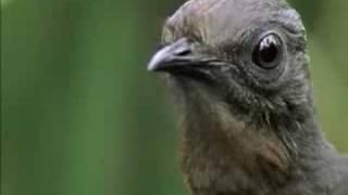 The Amazing Lyrebird of Australia