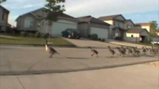 Geese jogging down the road