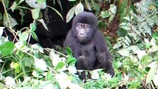 Baby gorilla pretends to be scary