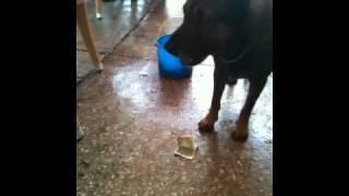 Dog begging for money.