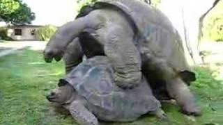 Giant Tortoises having fun