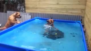 Two dogs work furiously to retrieve toy from the pool
