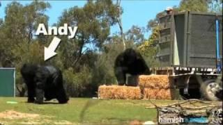 Gorillas - Werribee Open Range Zoo