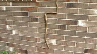 Snake climbing brick wall in Florida