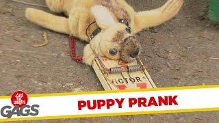 "Puppy Gets Stuck in Mouse Trap - ""Just For Laughs"" Gag"
