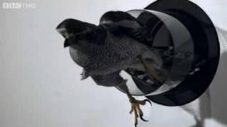 Goshawk Flies Through Tiny Spaces in Slow Motion