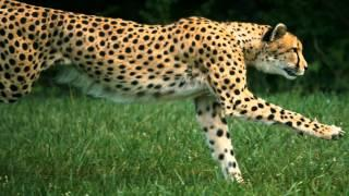 Cheetahs on the Slow Motion