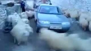 Sheep Cyclone