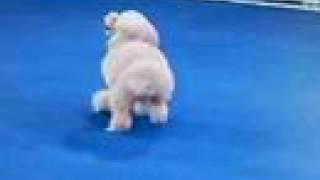 Amazing Dog - Backflipping Poodle