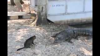 Cat Saves Boy from Two Vicious Aligators