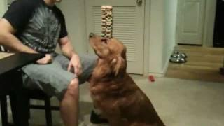 A golden retriever is able to balance 36 milk-bone treats on his nose.