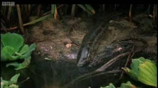The Lung Fish - Nile - BBC