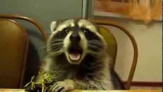 Raccoon Eats Grapes