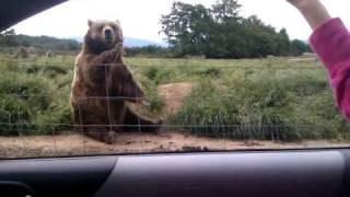 Polite Bear Waves Hello