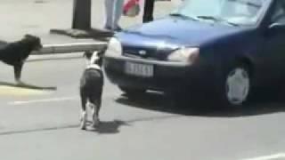 Don't honk at this dog.